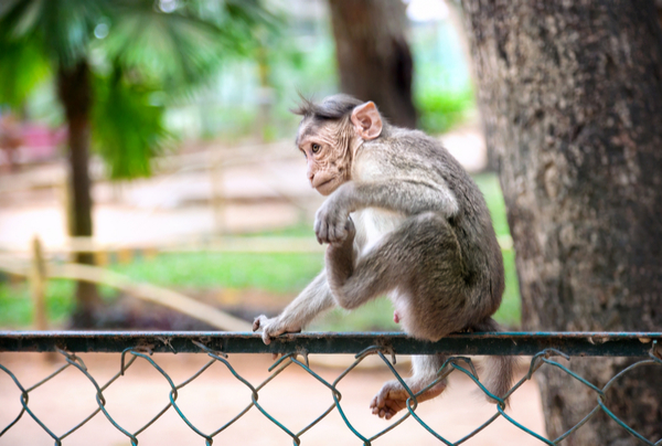 monkey at india zoo