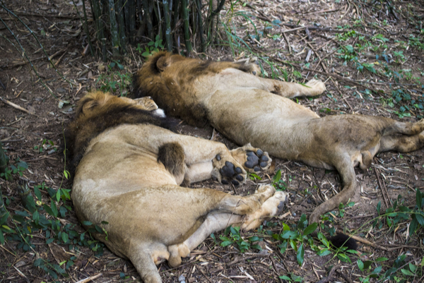 lions in Bannerghatta National Park